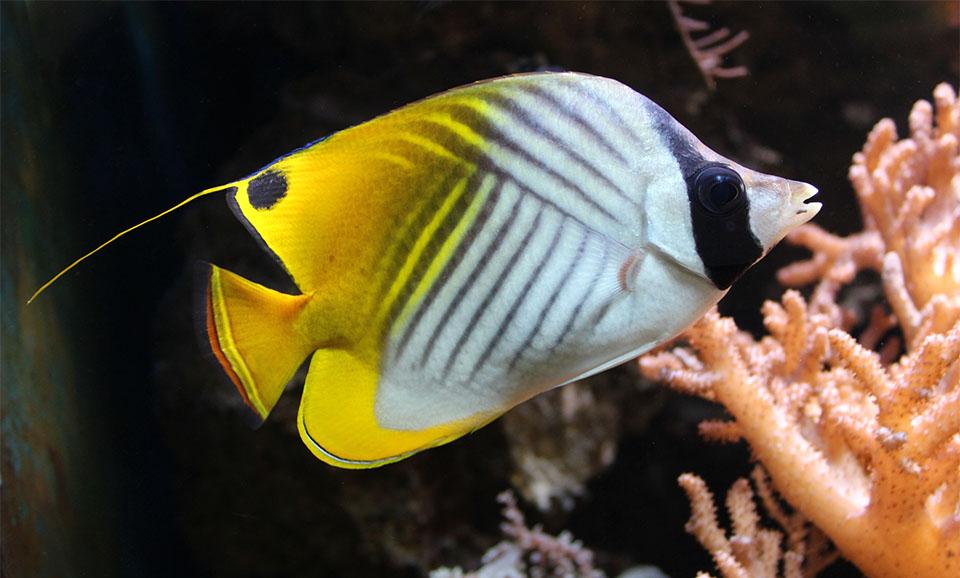 Peste Auriga Butterflyfish (Threadfin Butterflyfish).