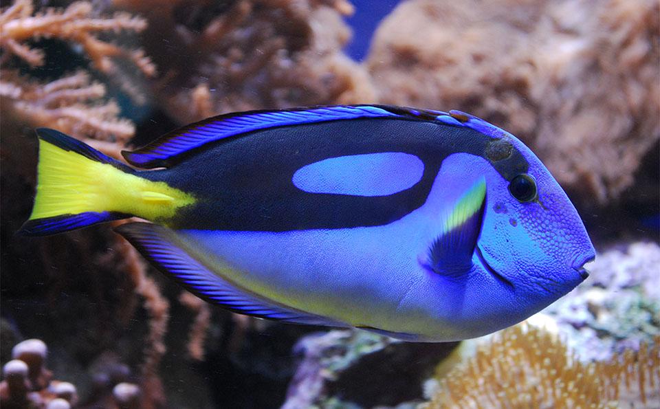 Peste Blue Tang (Peștele chirurg albastru).