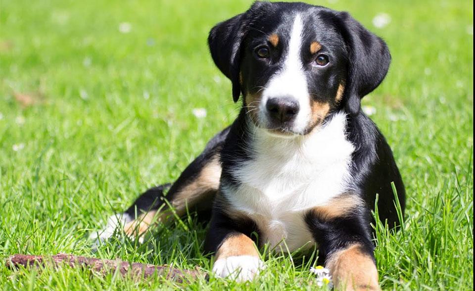 Caine Appenzeller Sennenhund stand culcat in iarba.