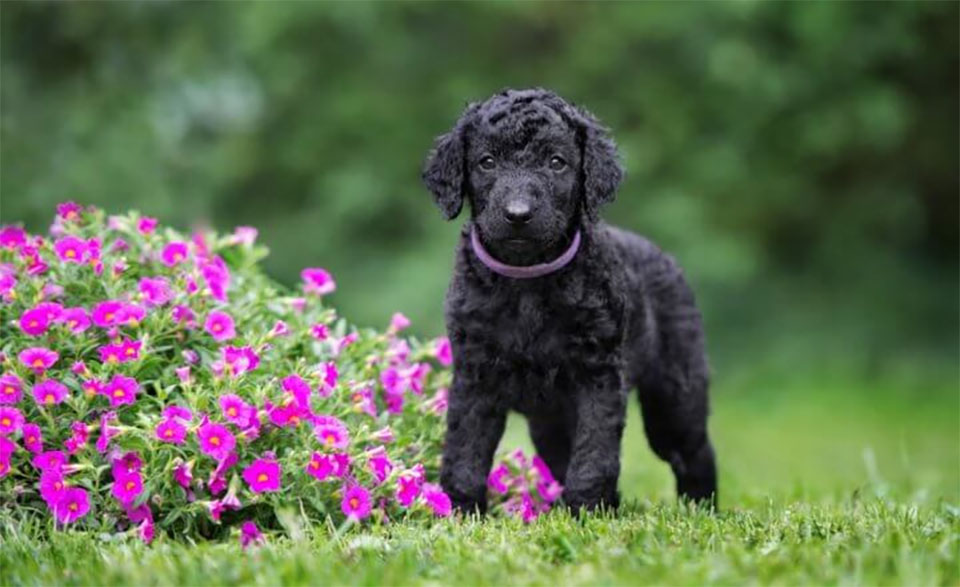 Pui de caine Curly-Coated Retriever langa o floare mov.