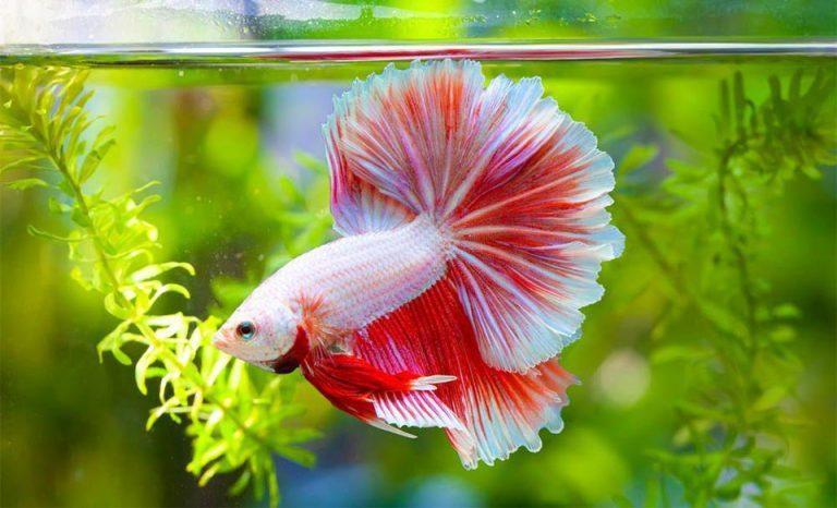 Peste Betta alb cu rosu intr-un acvariu.