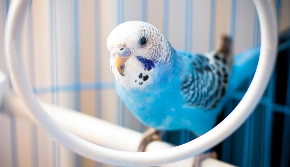 Perus albastru cu cap alb intr-o colivie.
