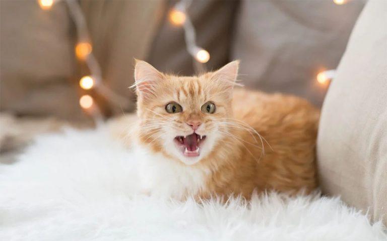 Pisica portocalie agresiva stand pe o canapea.