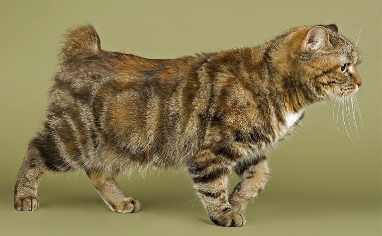 Pisica Cymric vazuta din profil.