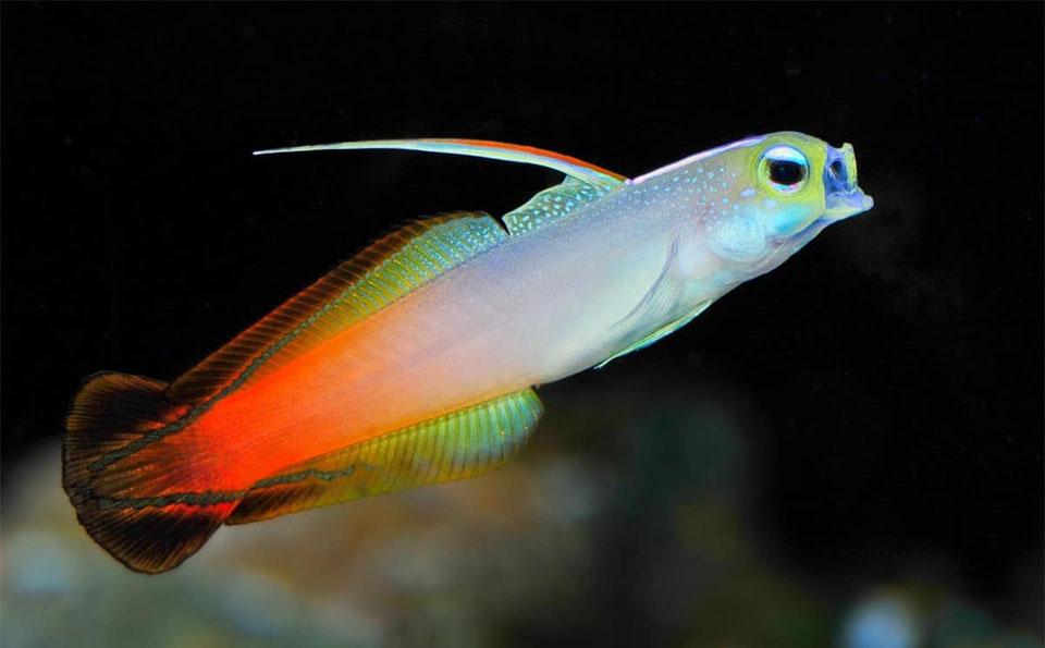 Peste Firefish Goby (Fire Dartfish).