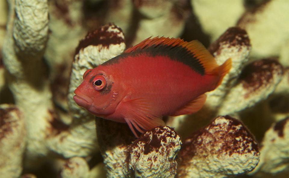 Peste Flame Hawkfish (Brilliant Red Hawkfish).
