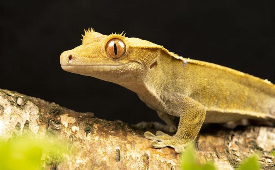 Gecko crestat pe o ramura.