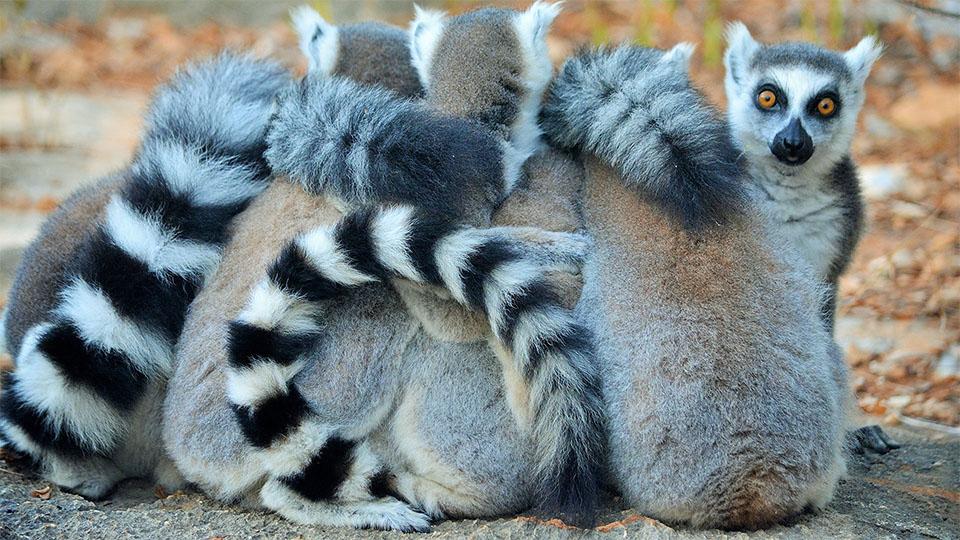 Familie de lemuri stand impreuna.