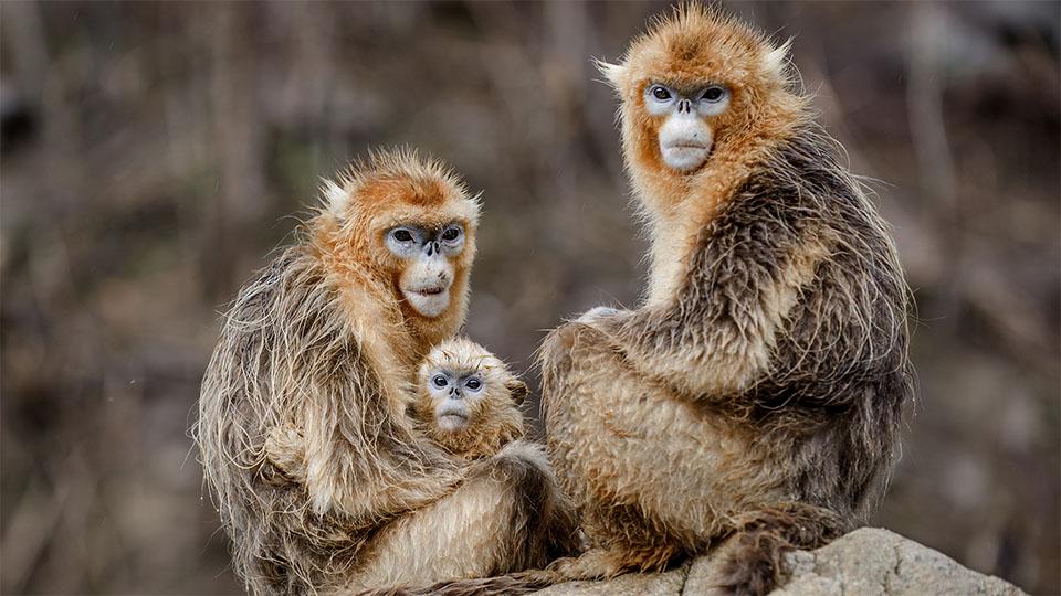 Familie de maimute pe o piatra.
