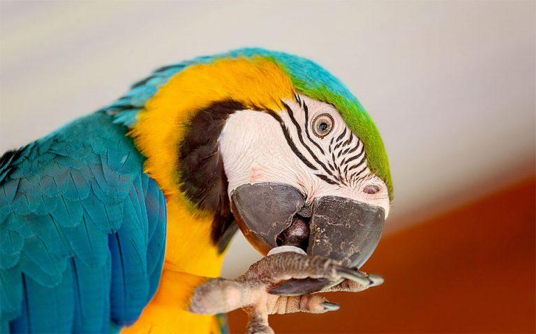 Papagal colorat curatandu-si picioarele.
