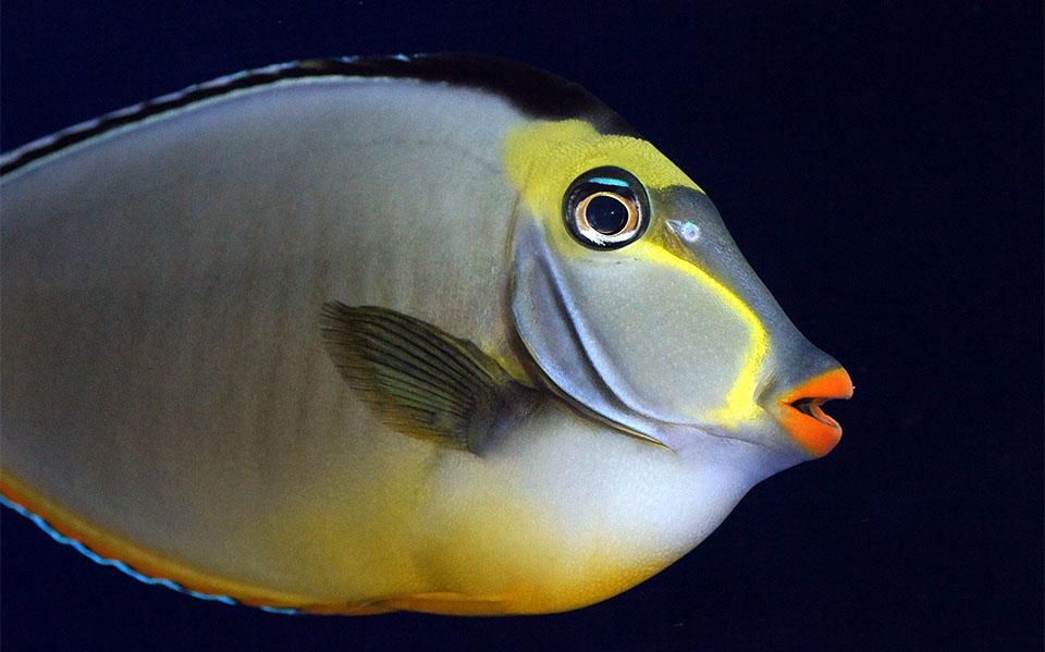 Peste Naso Tang (Orangespine Unicornfish).