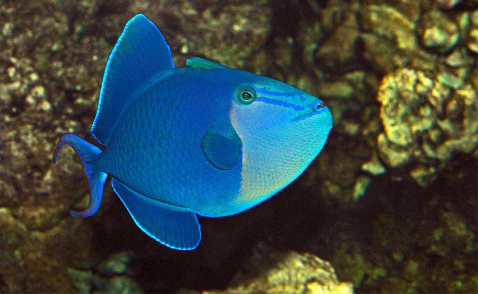 Peste Niger Triggerfish (Redtooth Trigger)..