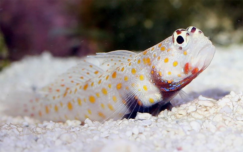 Peste Orange-Spotted Goby (Spotted Prawn Goby).