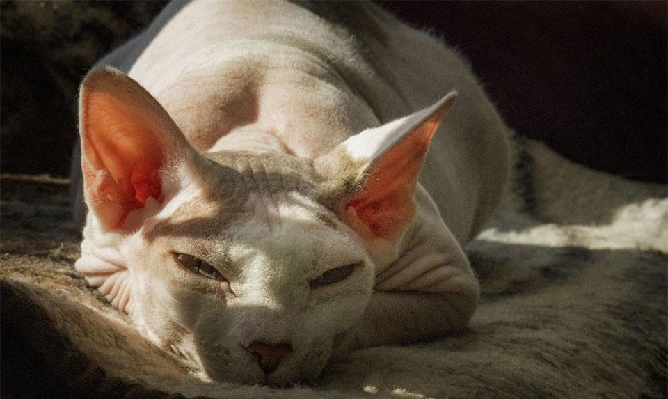 Pisica Sfinx dormind intr-o zona insorita.
