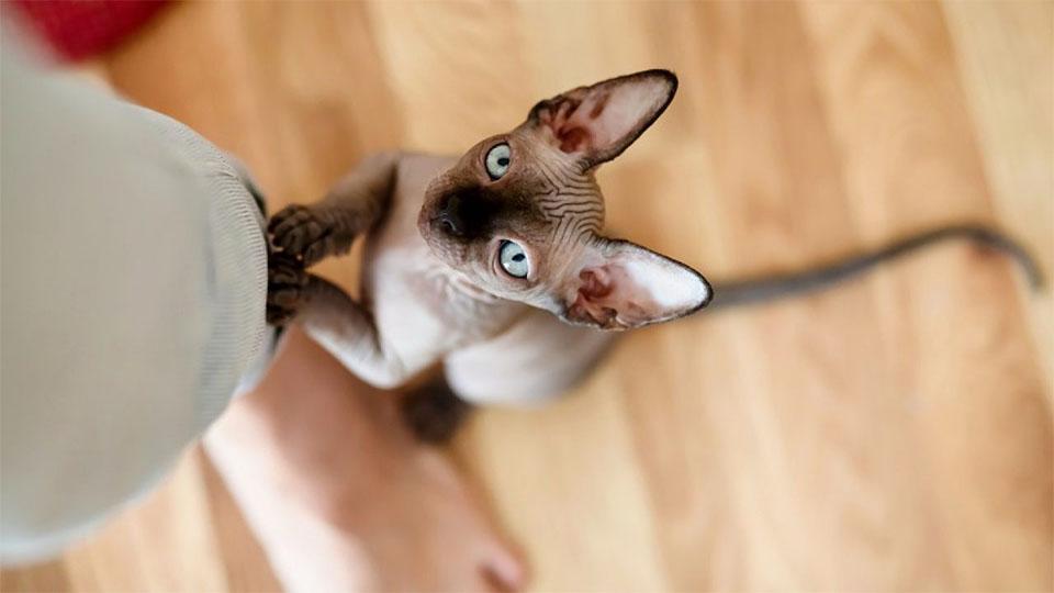 Pisica Sfinx stand pe piciorul unei persoane.