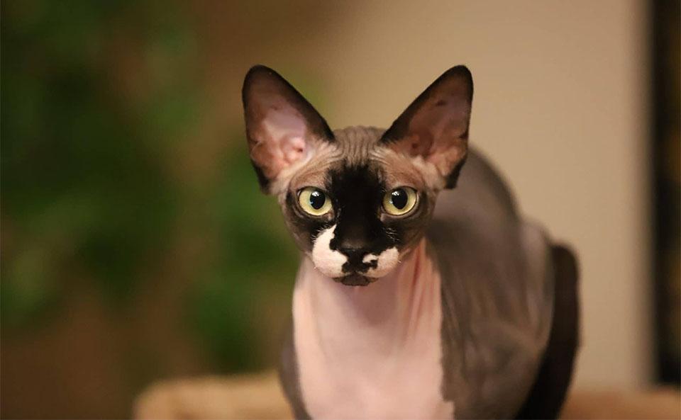 Pisica Sfinx.