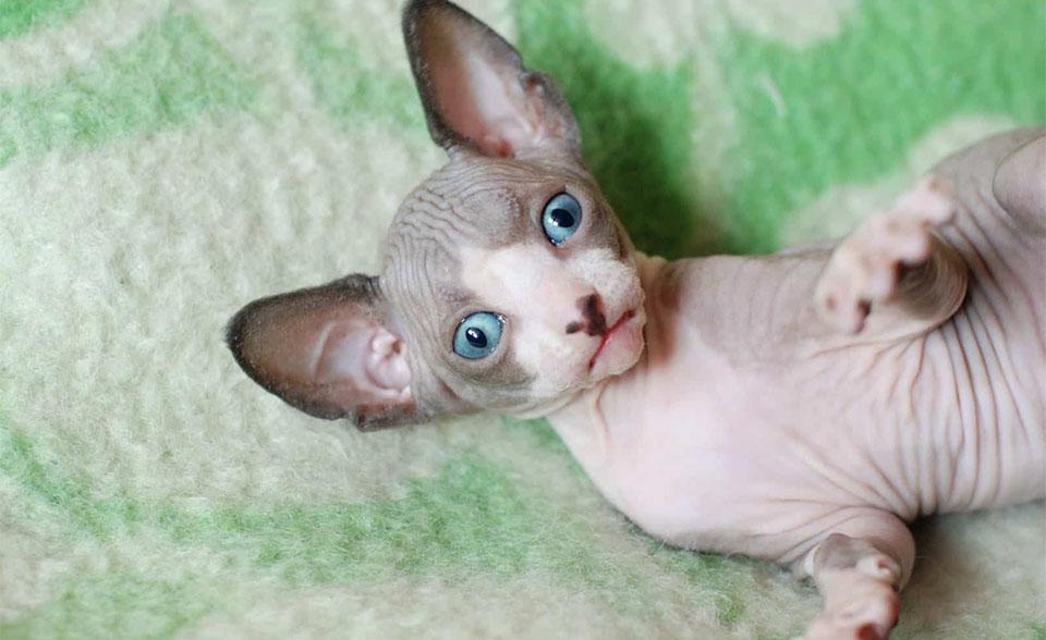 Pui de pisica Sfinx cu ochi albastri.