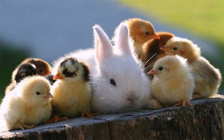 Pui de gaina stand langa un iepure alb.