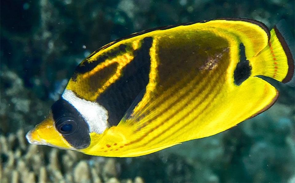 Peste Raccoon Butterflyfish (Crescent-Masked Butterflyfish).