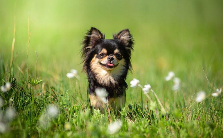 Catel mic cu limba scoasa in iarba.