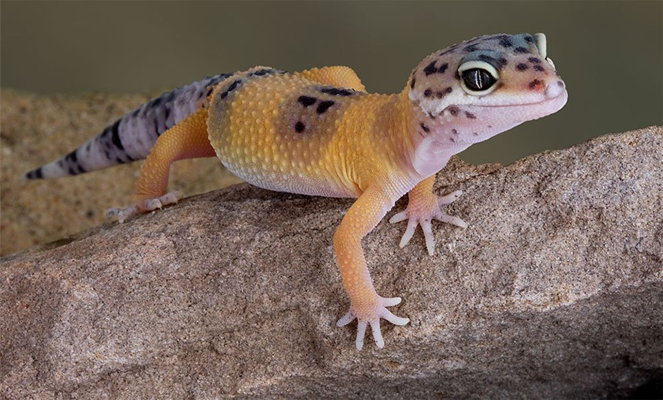 Soparla Leopard Gecko pe o piatra.