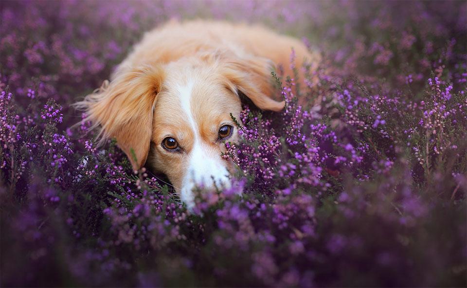 Caine stand culcat pe un camp de flori mov.