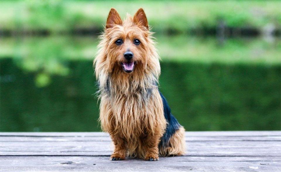 Caine Terrier australian (Aussie) stand in fund.