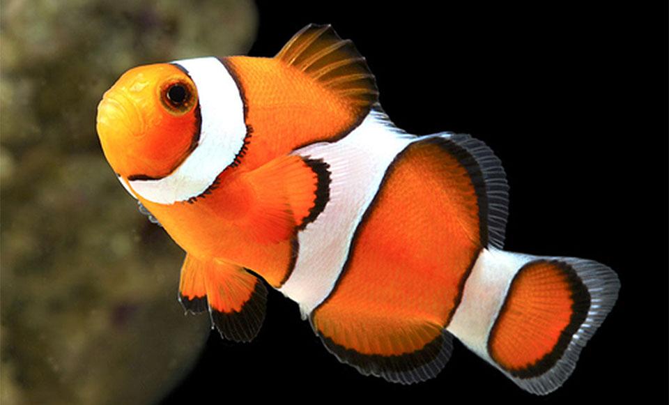 Peste True Percula Clownfish (Clown Anemonefish).