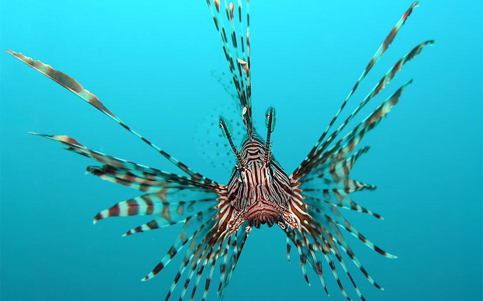 Peste Volitan Lionfish (Pește-leu comun).