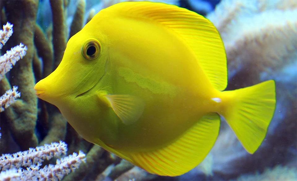 Peste Yellow Tang (Pestele chirurg galben).