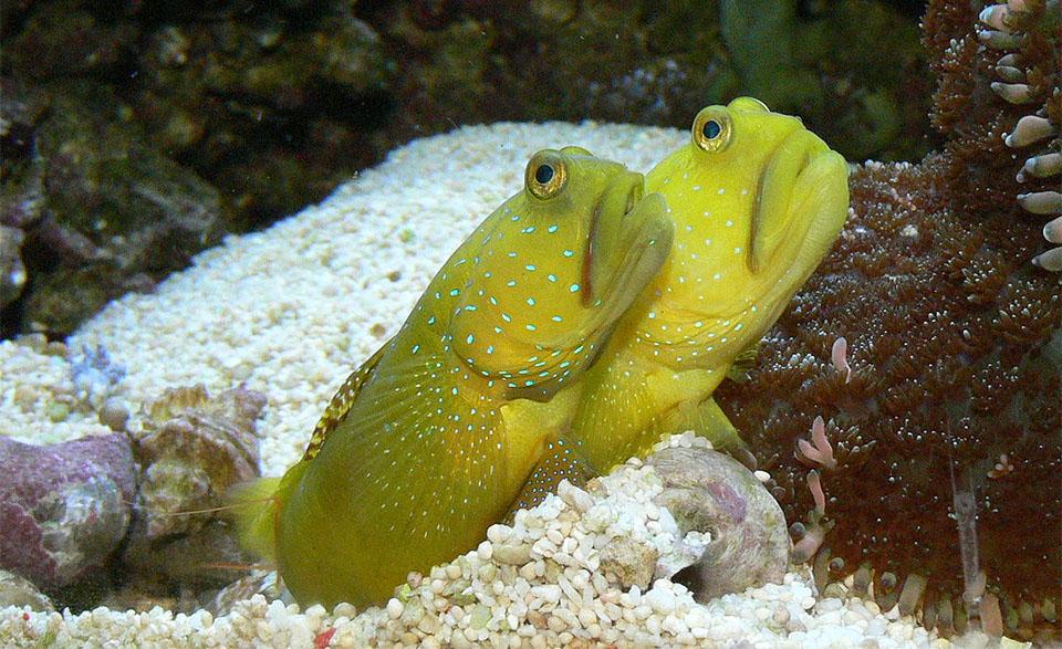 Pesti Yellow Watchman Goby (Yellow Prawn Goby).