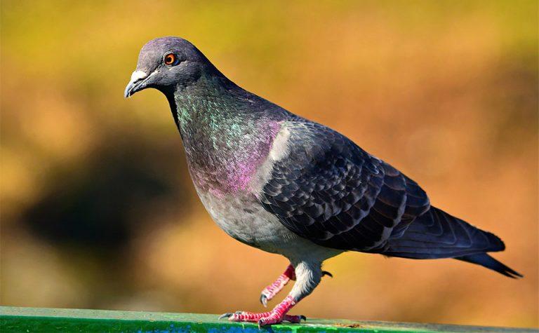 Porumbel vazut de aproape.