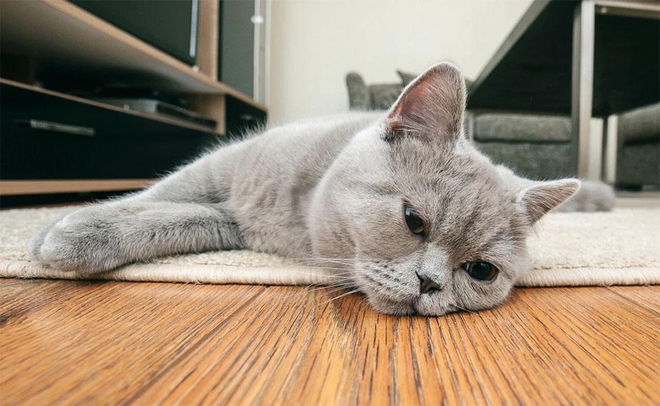 Pisica stand culcata pe podea.