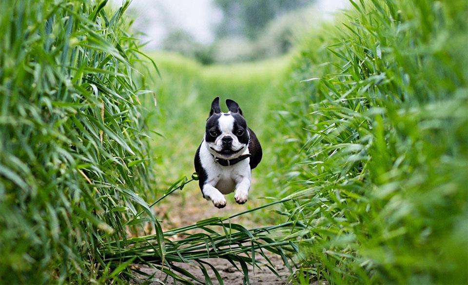 Caine Bulldog alergand printre plante.