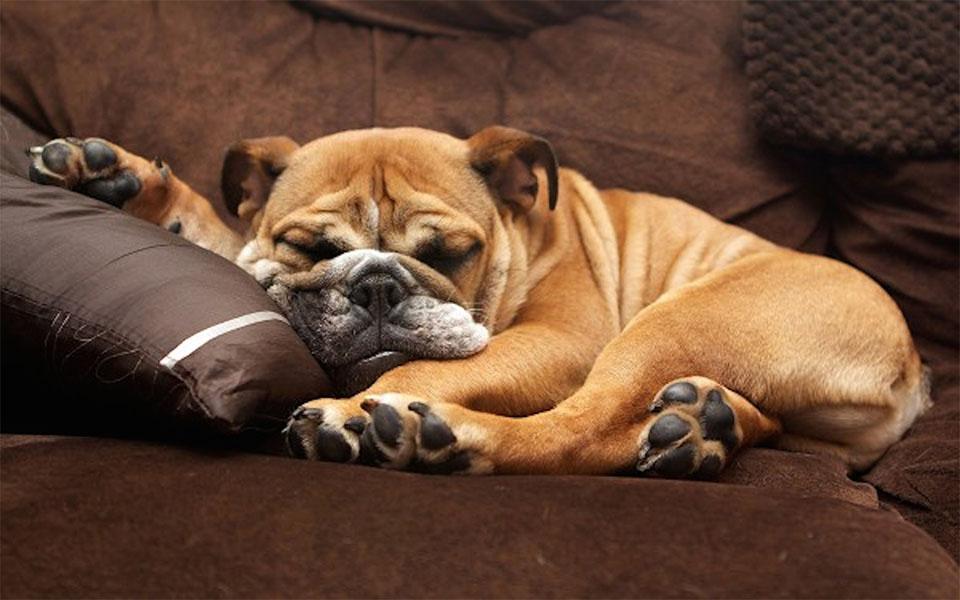 Bulldog dormind pe o canapea.