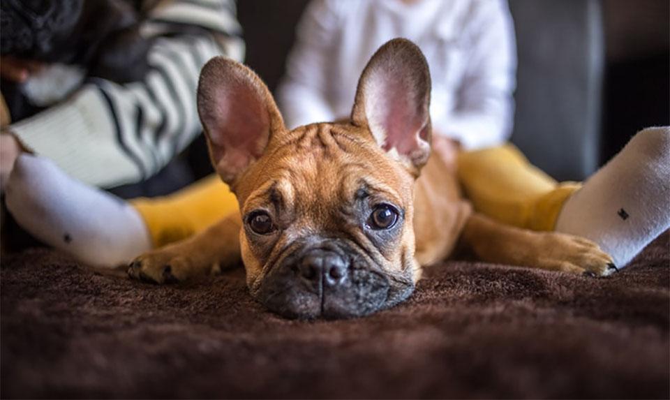 Bulldog stand culcat intre picioarele unui copil.