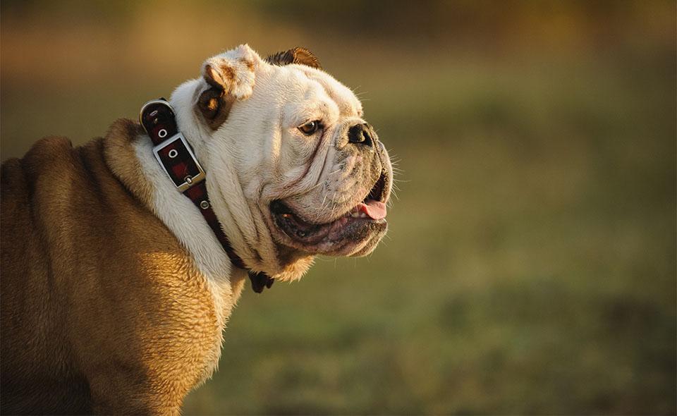 Bulldog englez vazut din profil.
