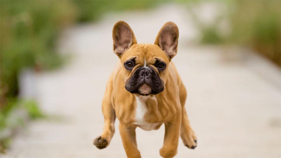 Bulldog francez alergand.