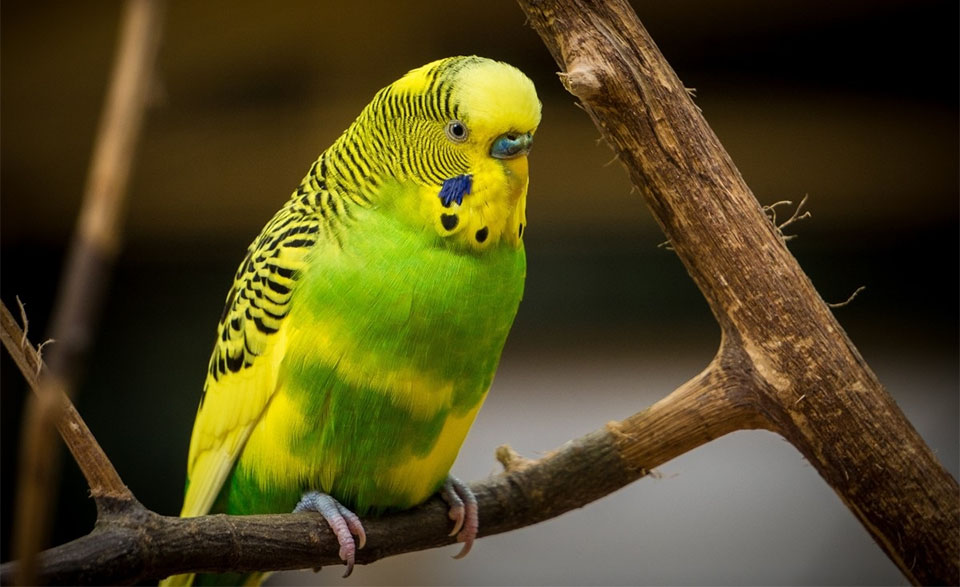 Perus verde cu galben stand pe o creanga.