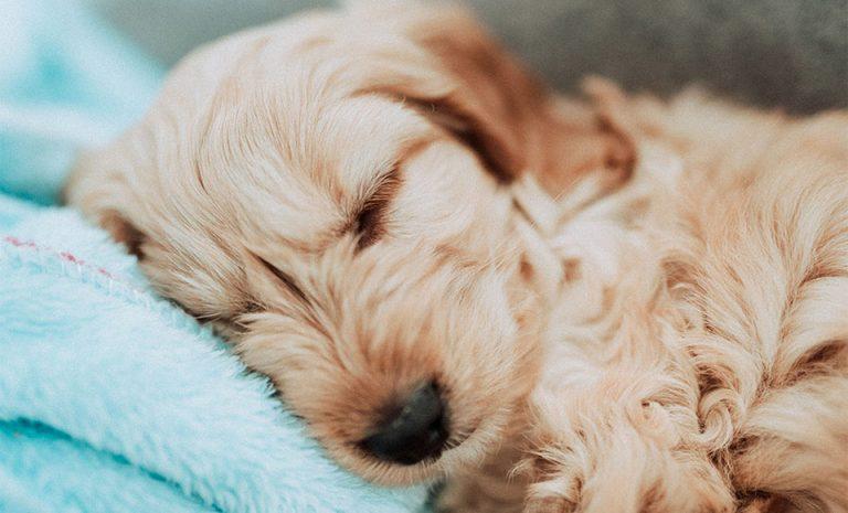 Caine dormind pe o paturica turcuaz.