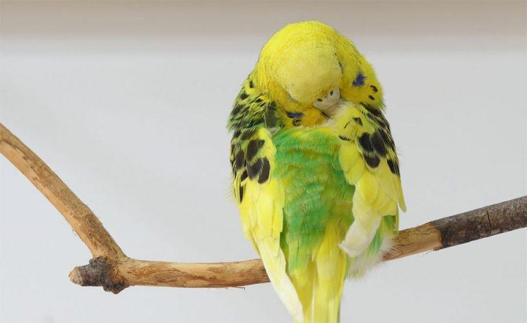 Papagal dormind pe un bat.