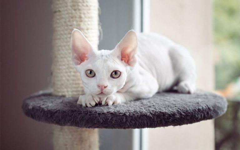 Pisica Devon Rex stand pe un ansamblu de joaca.