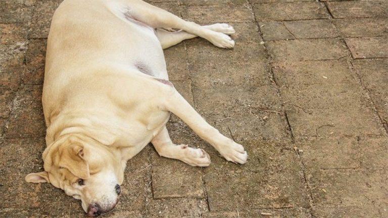 Caine obez stand culcat pe podea.