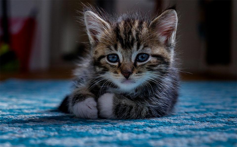 Piso de pisica stand culcat pe un covor albastra.