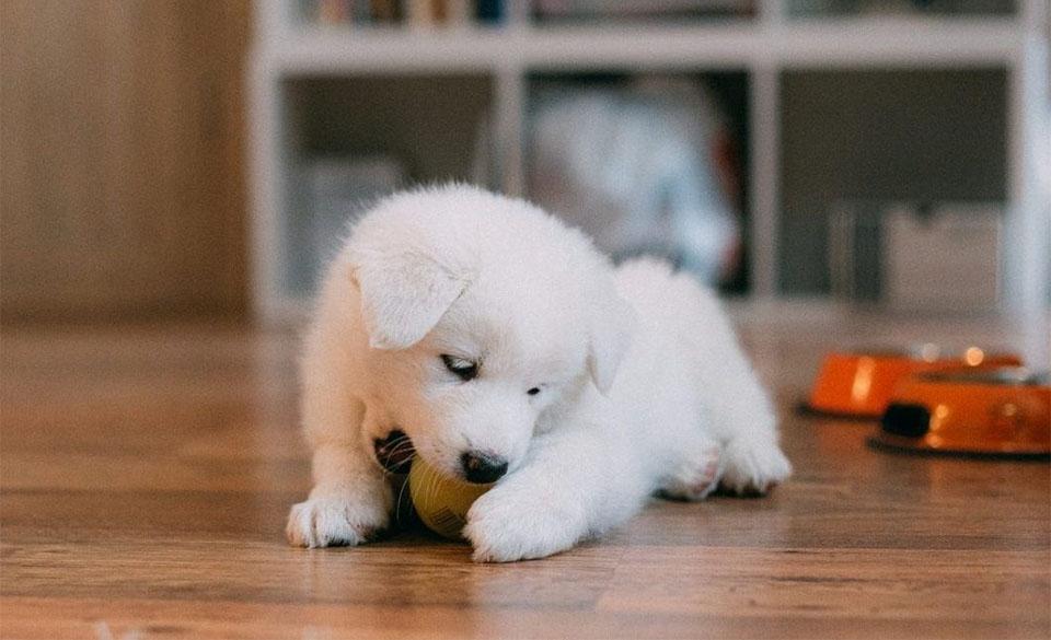 Pui de caine alb muscand o minge.