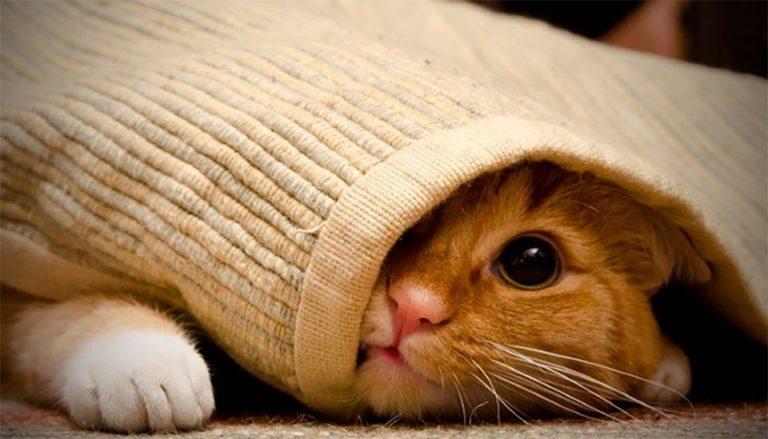 Pisica portocalie ascunsa intr-un pulover.