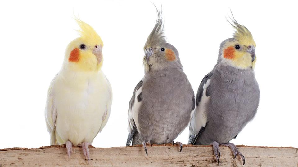 Trei papagali stand pe un lemn.