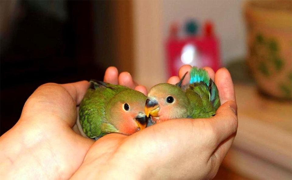 Doi papagali amorezi tinuti in mana.