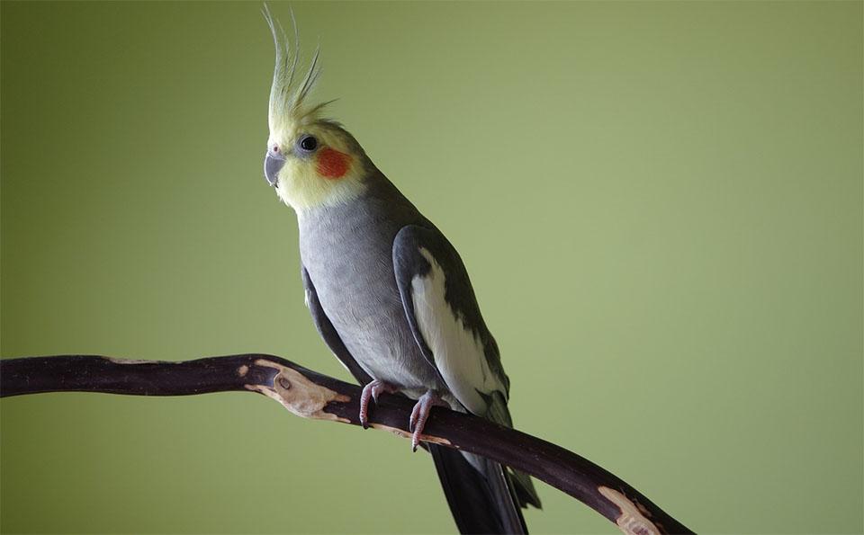 Papagal nimfa stand pe o creanga.