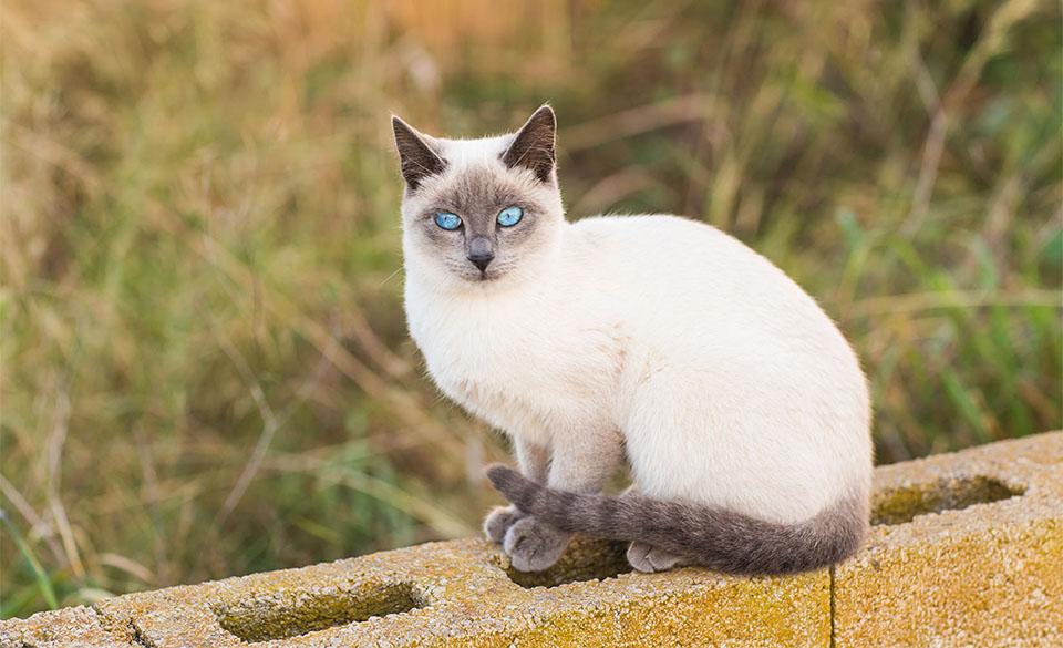 Pisica siameza pe un gard de beton.